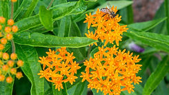 growing-butterfly-weed-in-your-garden-25
