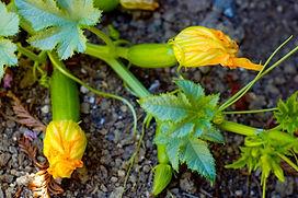 female-squash-blooms.jpg