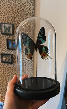 Butterfly glass small
