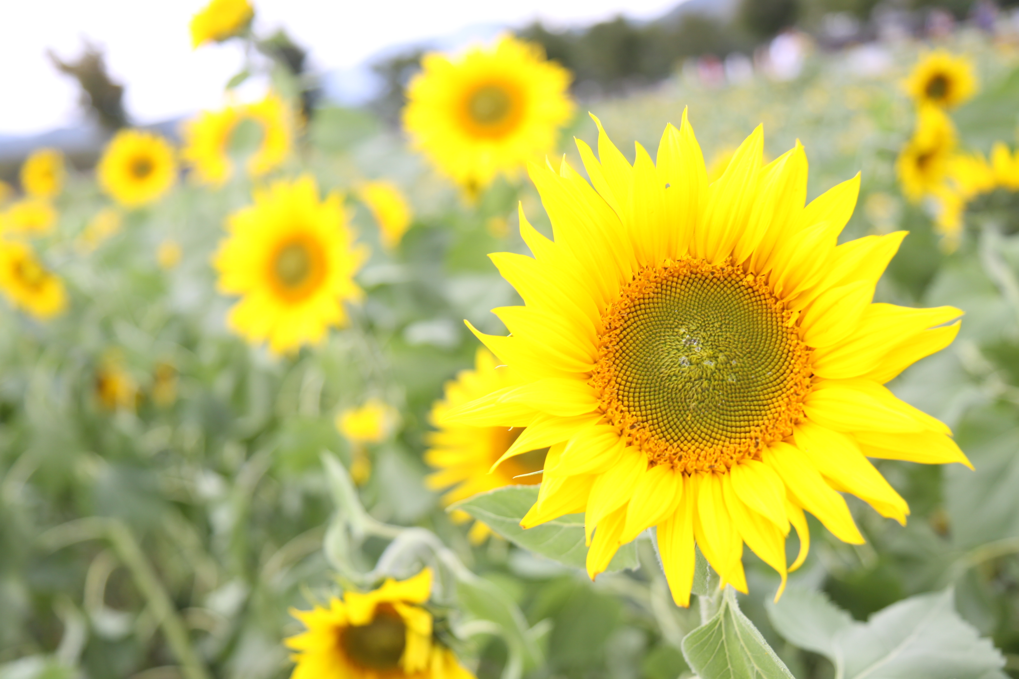 山中湖の花の都公園は四季のお花で一杯。夏はひまわりが素敵です。