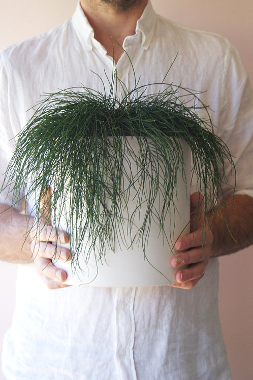 Casuarina Glauca | Cousin It & Planter