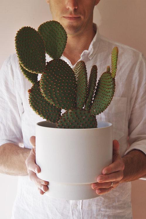 Opuntia Microdasys | Bunny Ears Cactus & Planter