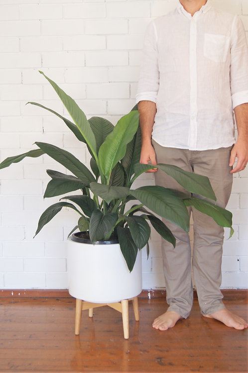 Spathiphyllum Sensation | Giant Peace Lily