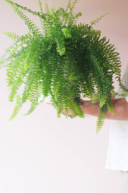 Nephrolepis Exaltata | Boston Fern