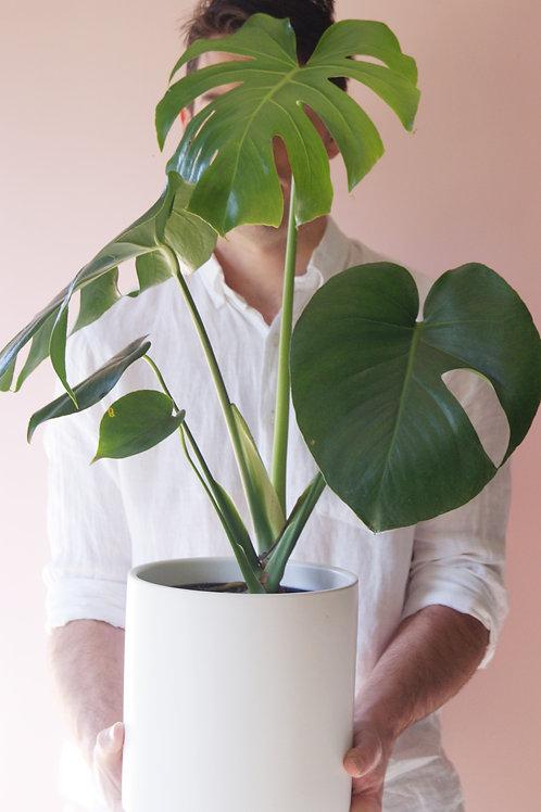 Monstera Deliciosa | Fruit Salad Plant
