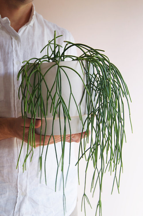 Rhipsalis | Spaghetti Cactus & Planter