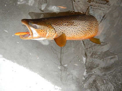 Brown Trout from Brule River