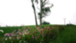 mist cosmos gum trees field