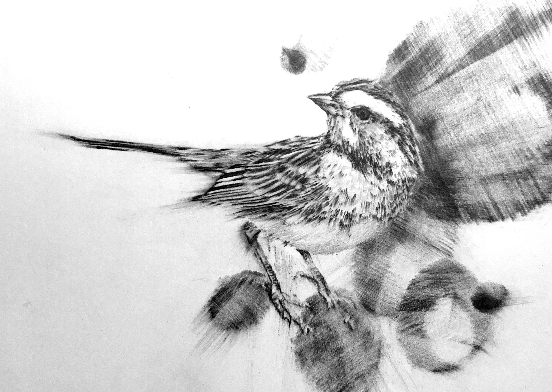 "Graphite- ""White-Throated Sparrow"""