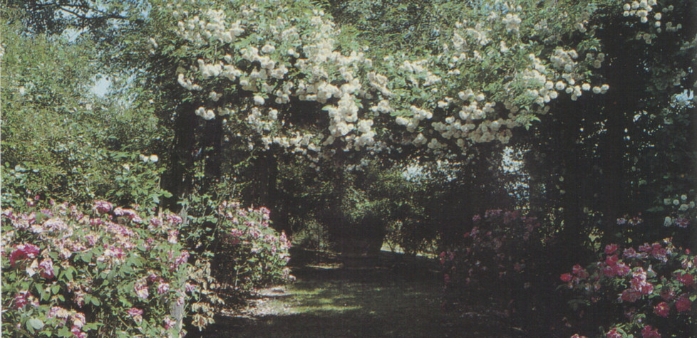 Antiques Climbing Roses