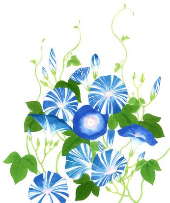 「花に聞くvol.12 朝顔」