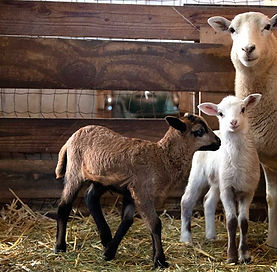 sheep-mama.jpg