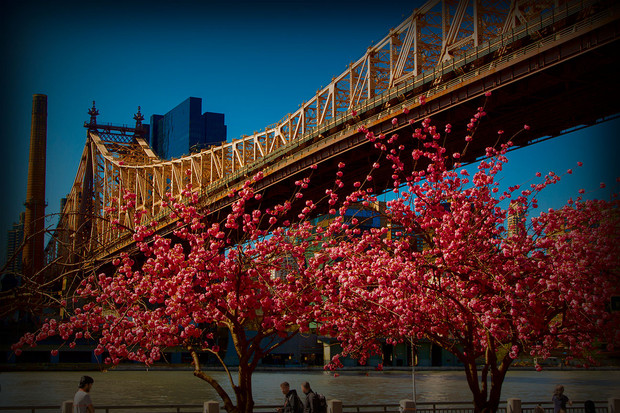 Roosevelt Island and blossom
