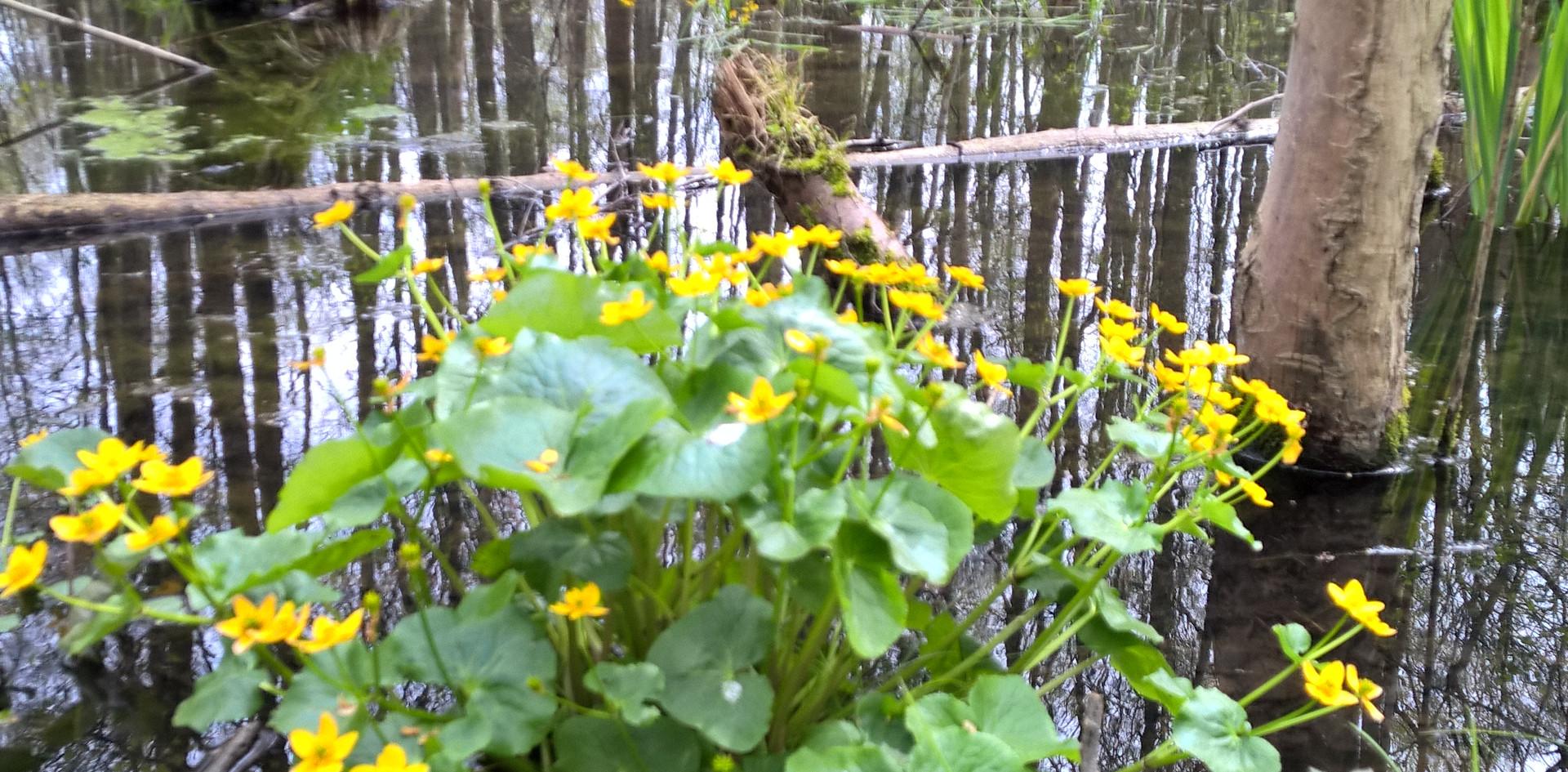 Sumpfblumen im Zahrt