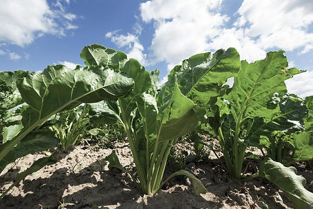 field-crops-sugar-beet-content.jpg
