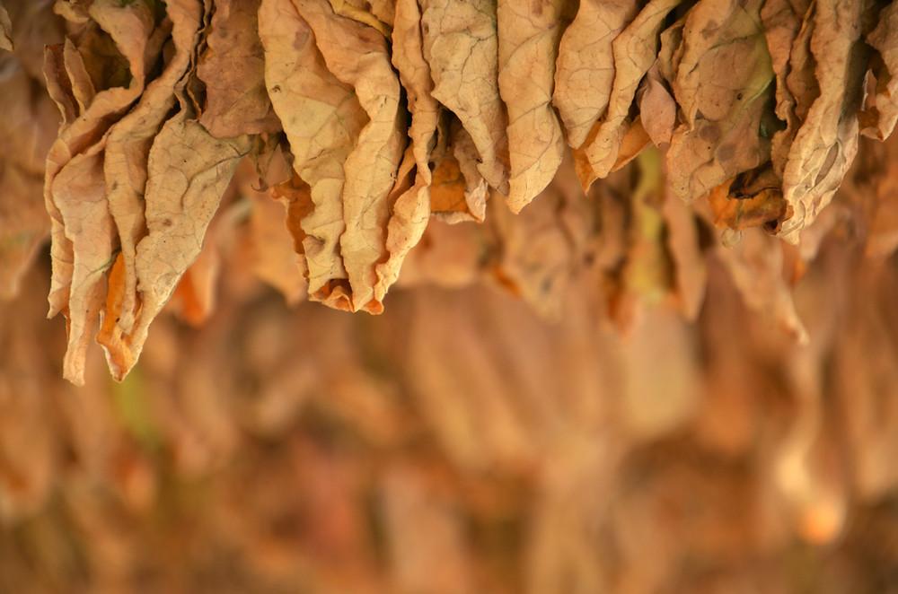 Symbolbild Tabakblätter