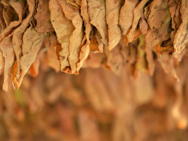 Tütün Yaprakları