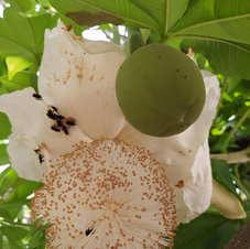 Flor do baobá de Olinda, Pernambuco. Foto: José Albuquerque (Casa dos Baobás).