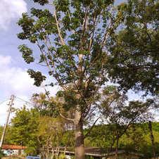 Baobá no Jardim Piolin, João Pessoa, Paraíba. Foto: Átila Tolentino.