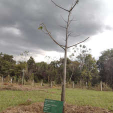 Baobá no Parque Brito, Jataí-GO. Foto: Anne Oliveira..