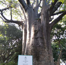 Baobá no Passeio Público, Fortaleza. Foto: Antônio Airton.