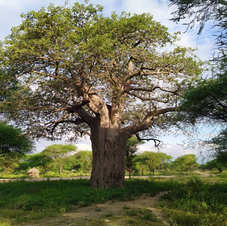 Baobá em Arusha, Tanzânia. Foto: Anderson Santana.