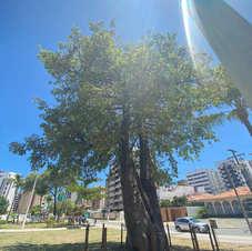 Baobá na Praça do Skate, Maceió. Foto: Patrícia Nogueira.