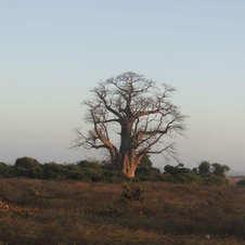 Baobá na Província de Gaza, Moçambique. Foto: Clarice Smiderle e Rafael Loureiro.