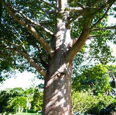 Maior baobá de Brasília (propriedade particular), Park Way. Foto: Virgínia Silva.