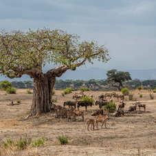 Baobá no Parque Tarangire, Tanzânia. Foto: Gilberto Rossi.