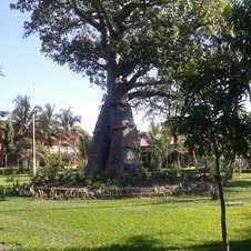 Baobá em Malawi, Árica Oriental. Foto: Marcos Gambini.