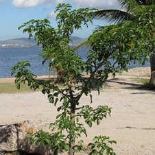 """Baobá """"João Gordo"""", Ilha de Paquetá, Rio de Janeiro. Foto: Felipe Migliani."""