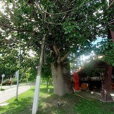 Baobá mais antigo do bairro de Jatiúca/Stella Maris, no Corredor Vera Arruda, Maceió-AL. Foto: Arísia Barros. .