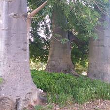 Troncos de três dos nove baobás no Campo de Santana, Rio de Janeiro. Foto: André Lùcio Bento