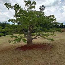 Um dos 19 baobás no Jardim Botânico de Londrina, Paraná.