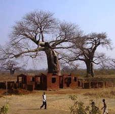 Baobá em Tete, Moçambique. Foto: Marcos Gambini.