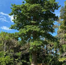 Baobá no Sítio Nezuila, no povoado de Santa Teresa, Teresina, Piauí. Foto: Sara Rodrigues.