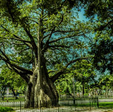Baobá na Praça da República, Recife, Pernambuco. Foto: Gilberto Vasconcelos.