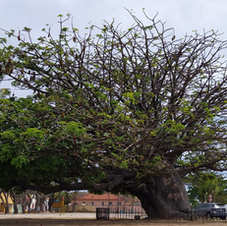 Baobá em Olinda, Pernambuco. Foto: José Albuquerque (Casa dos Baobás).