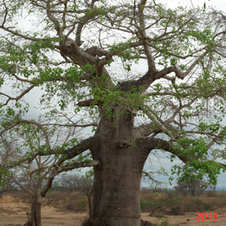 Baobá na região do Barra do Dande, Angola. Foto: Marisol Kadiegi.