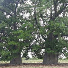 Baobas na Fazenda Curralinho, Assú-RN. Foto: Tiago Bezerra