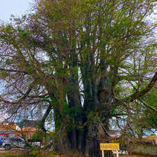 Baobá do Poeta, Natal-RN. Foto: Leila da Cunha Lima Almeida.