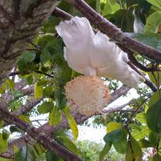 Flor do baobá em frente à Embrapa Cenargen, Brasília. Foto: André Lúcio Bento.
