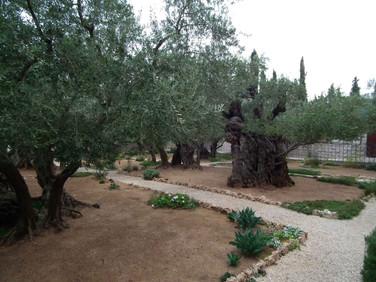Oliveiras no jardim do Gethsemani - Jerusalém - Israel