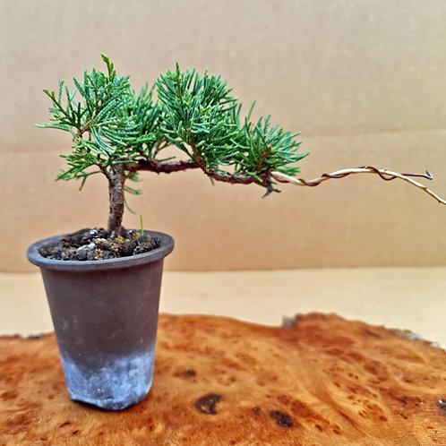 Juniperus x media 'Blauws'