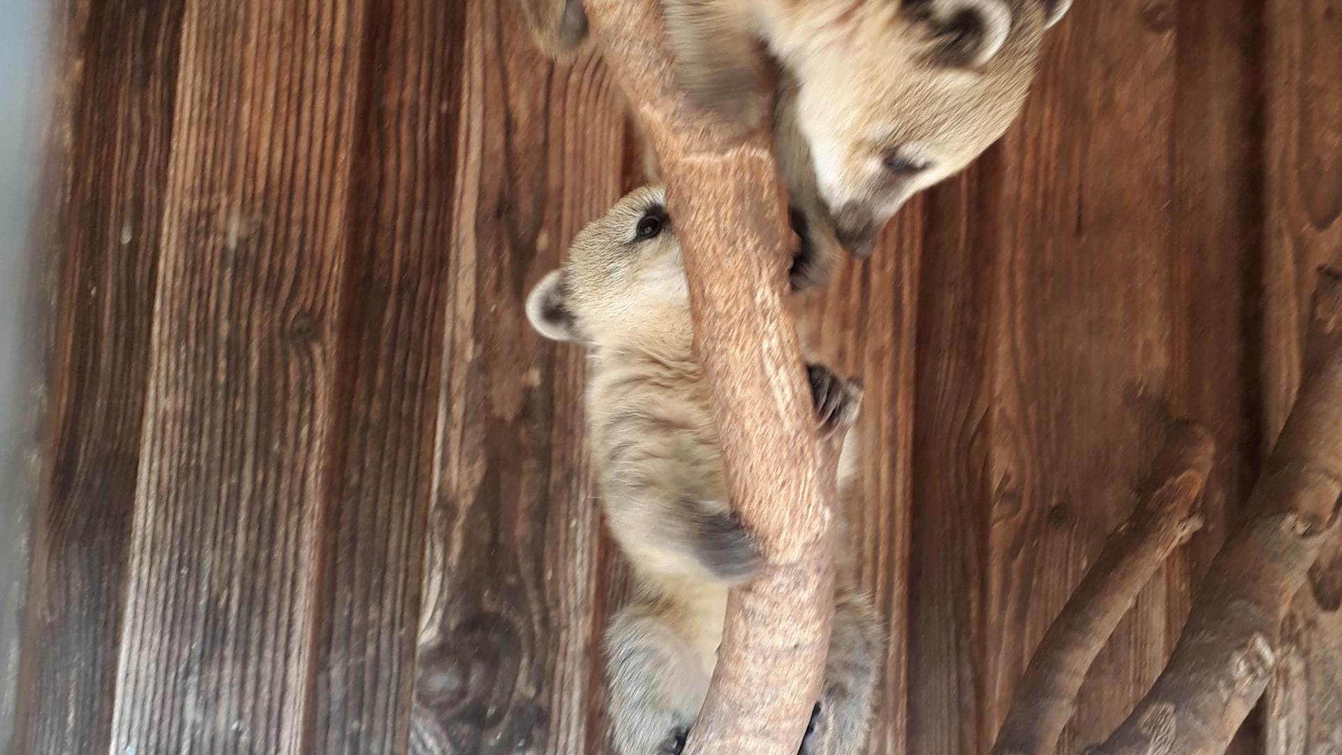Unsere Nasenbären