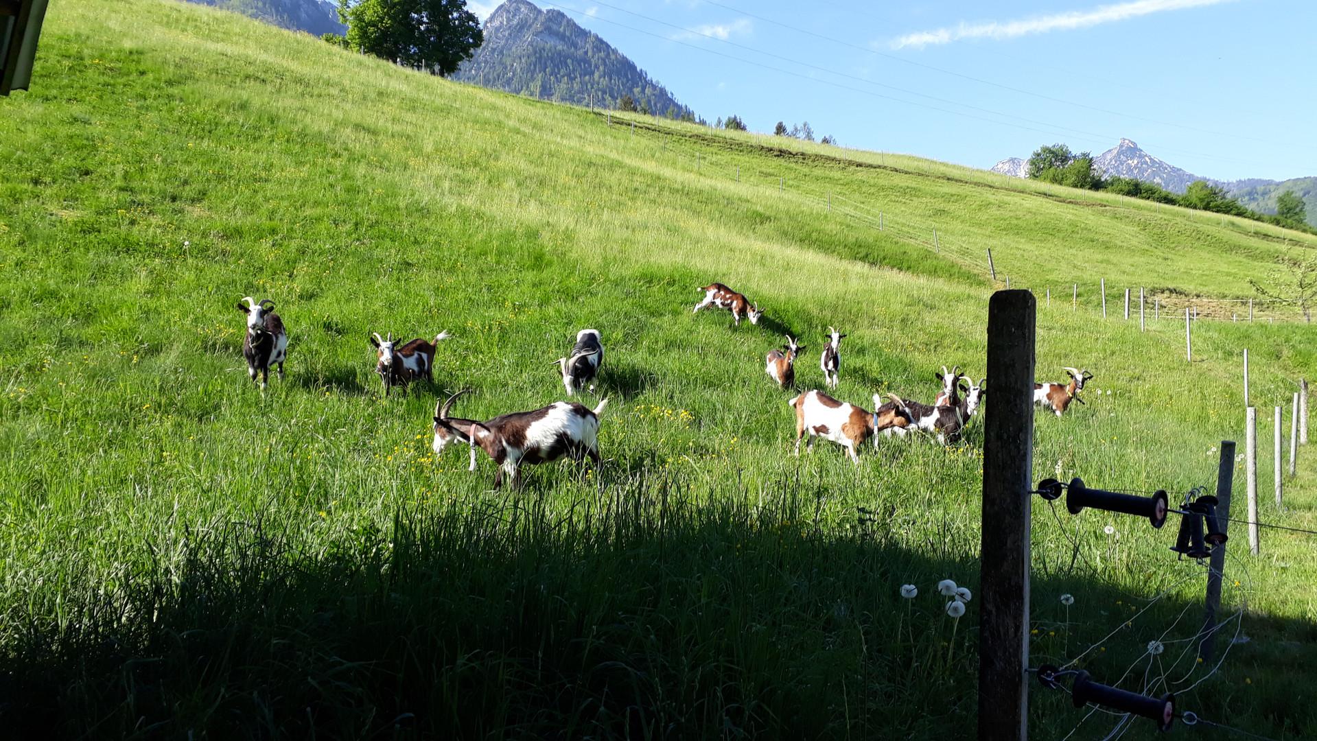 Tauernschecken-Ziegenzucht