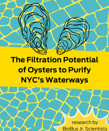 Intern Research: The Filtration Potential of Oysters to Purify NYC's Waterways