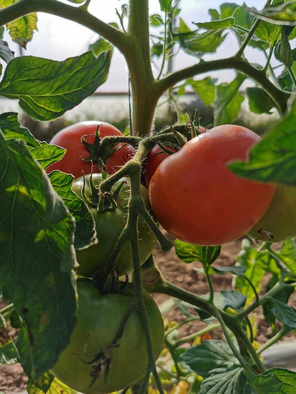 Tomates des jardins solidaires de kerbellec