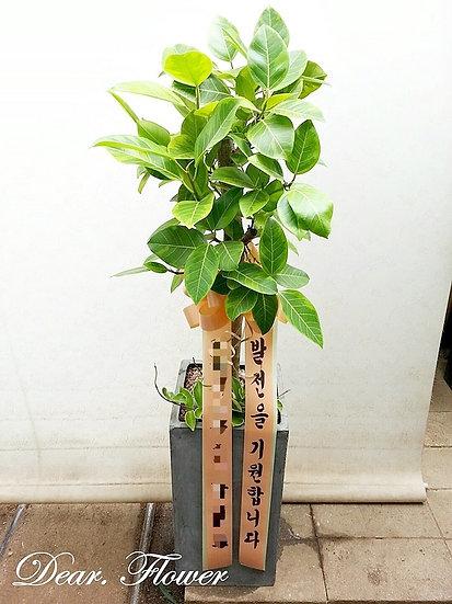 [특가]뱅갈고무나무-대형